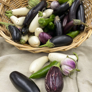 Aubergines violette, blanche, Florence (ronde) de culture biologique de l'exploitation biologique des Deux-Sèvres (79)