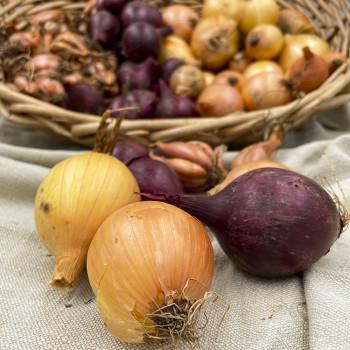 Oignons jaunes ou rouges de culture biologique des Deux-Sèvres (79)