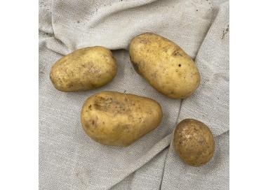Pommes de terre Claustar biologique. Vente directe chez le producteur sud Deux-Sèvres (79)
